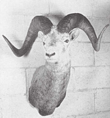 Stone Ram trophy of successful sheep hunting